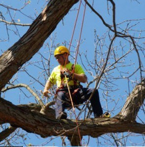 arborist in Geelong provides tree removal and lopping services