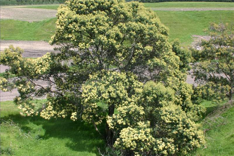 Black Wattle Tree in the Monash Council